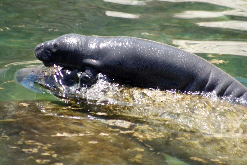 Nuevo Bebé manatí en Dolphin Discovery Riviera Maya