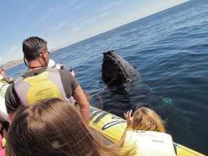 Spy-hopping Whale Watching Tour