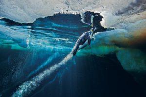 Pinguino imperatore che nuota