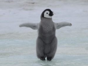 Pinguino sul ghiaccio