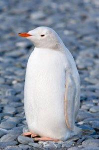 Pinguino bianco