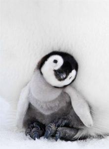 Il pinguino si riproduce