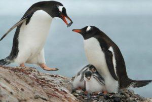 Pinguini che mangiano rocce