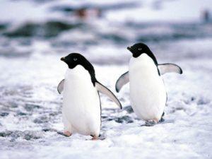 caratteristiche generali dei pinguini