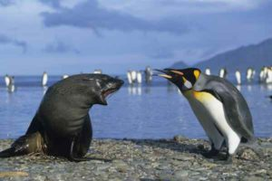 Pinguino reale e leone marino